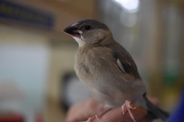 桜文鳥 (6)