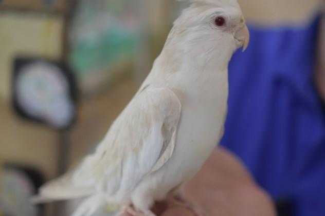 オカメインコホワイトフェイスファロー (5)