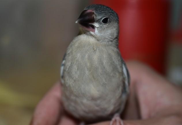 桜文鳥 (1)